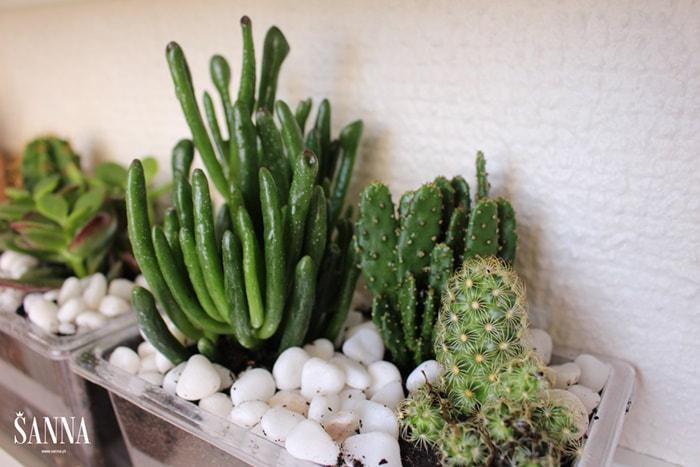 cactus-001-1_orig